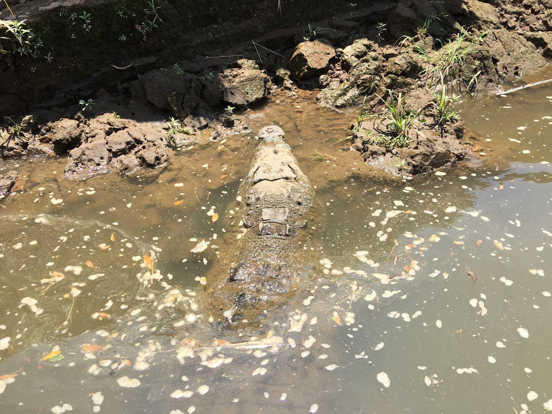 Crocodiles Costa Rica Rio tarcoles