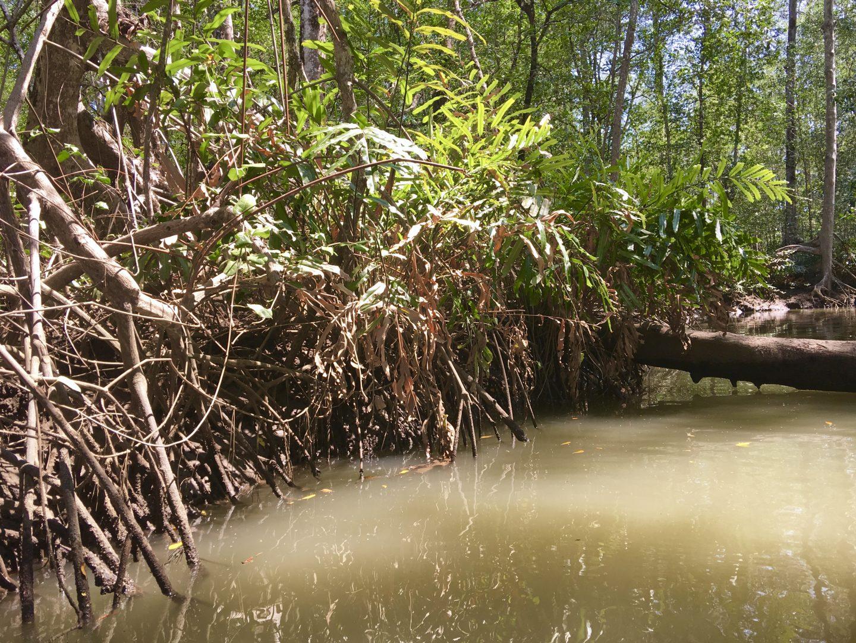 Safari Rio Tarcoles Mangrove
